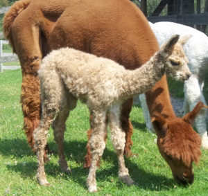 alpaca cria from snowshoe farm