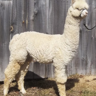 Yearling Alpacas