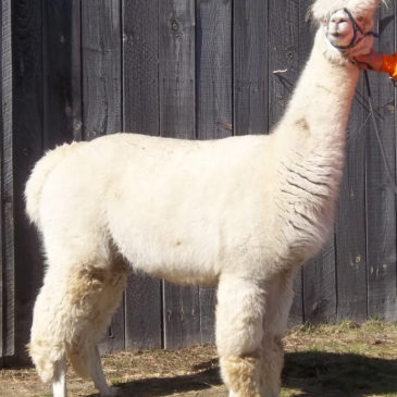 On sale – proven female alpacas
