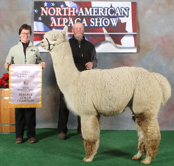 Snowshoe Aristides, champion alpaca from Snowshoe Farm,Peacham, Vermont