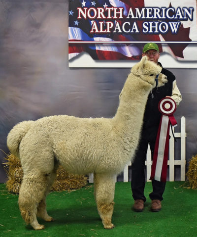 Alpaca herdsire from Snowshoe Farm, Peacham, VT