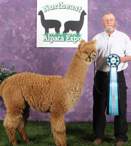 Female Alpacas - Open