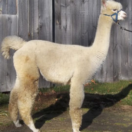 Female Alpaca – Sale!