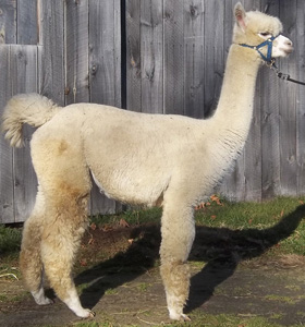 bred female alpaca for sale by Snowshoe Farm, Peacham, Vermont