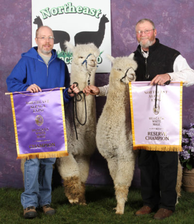 Champion male alpacas, Snowshoe Aristides and Snowshoe Astraios