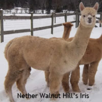 female alpaca on sale