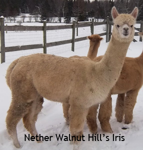 Female Alpacas for Sale – New!