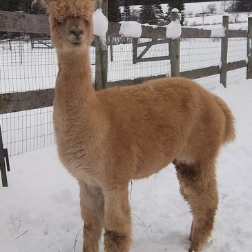 Very special alpaca for sale