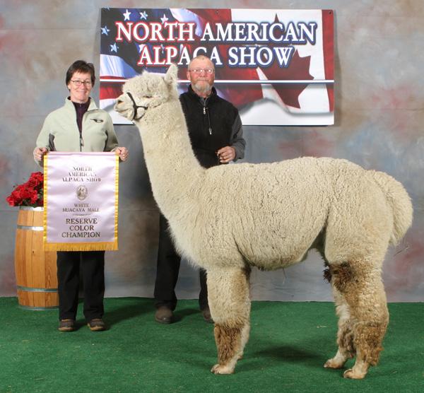 snowshoe aristides, champion alpaca