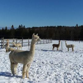 Snowshoe Farm Alpacas, Peacham, Vermont